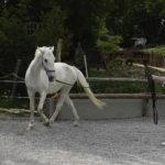 Postavljanje konja na lonži s pomočjo govorice telesa